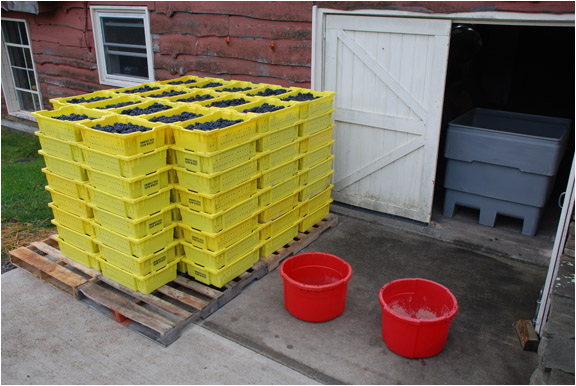 Stacks of yellow harvest lugs filled with grapes.